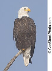 Bald Eagle - Tule Lake National Wildlife Refuge