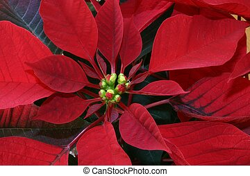 Poinsettia - A Close-up View of a Poinsettia Plant