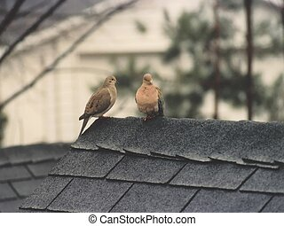 love birds - 2 morning doves on a wet roof
