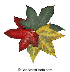 Autumn Leaves - Three autumn leaves, on a white background