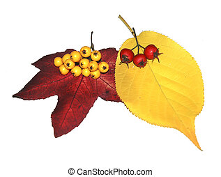 Autumn Leaves and Berries - Berries and two autumn leaves,...