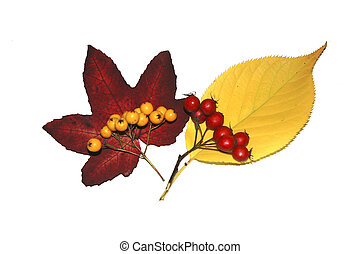 Autumn Leaves & Berries - Berries and two autumn leaves, on...