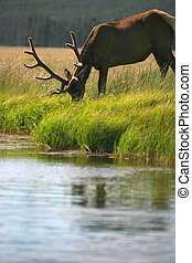 bull elk eating by stream - a bull elk eating at edge of...