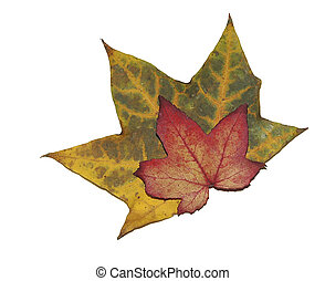 Autumn Leaves - Two autumn leaves, on a white background