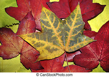 Autumn Leaves - A collection of colourful autumn leaves