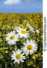 daisy - white daisy in oilseed rape
