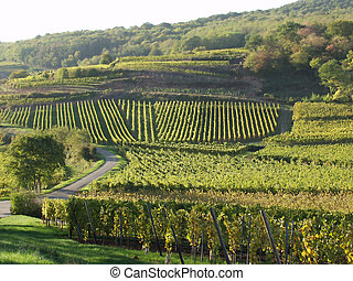 alsacian vineyards - in the alsacian vineyards in autumn in...