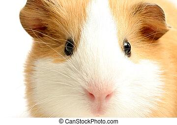 guinea pig closeup over white - guinea pig - a highkey...