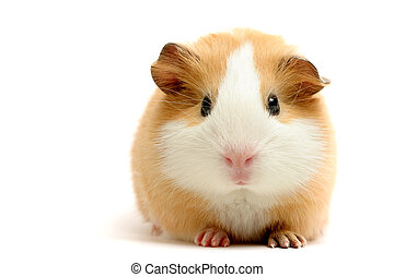 guinea pig over white - guinea pig closeup shot over white