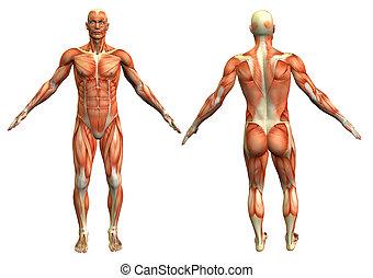 anatomía, hombre, 4