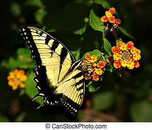Butterfly - Yellow Monarch gathering nectar