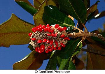Magnolia Seed Pod - Red Magnolia Seed Pod against blue sky...