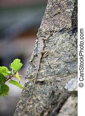 Changeable Lizard - The Sri Lankan Common Garden Lizard, sp....