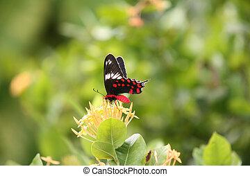 Crimson Rose butterfly - The Sri Lankan Crimson Rose...