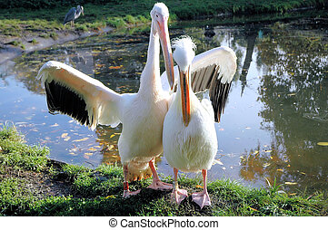 Pelican couple - White pelicans
