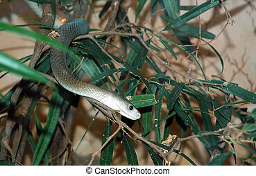 Black Mamba - Snake in the tree