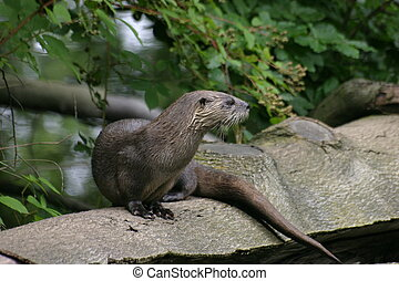 River Otter on a trunk