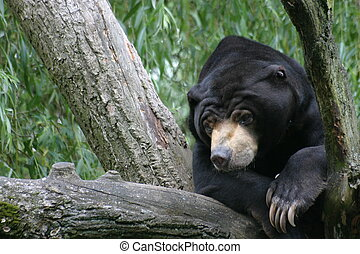 Malayan Sun bear - A sleepy malayan sun bear on a tree
