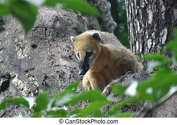 Coati - Adult coati on a tree