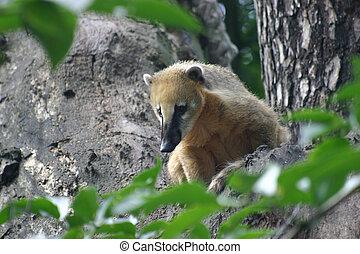 Coati - Adult coati on a tree