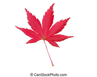 Maple leaf isolated over white background-design element