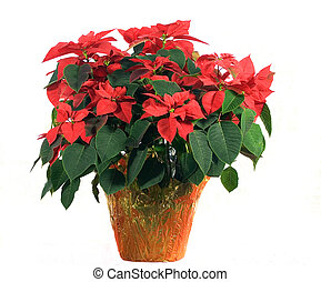 Poinsettia on White - Photo of a beautiful poinsettia on...