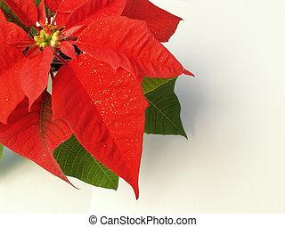 poinsettia - red Christmas poinsettia
