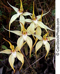 Flowers - Spider Orchid - Australian Native Orchid - Spider...