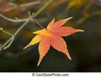 Japanese Maple Leaf - Autumn Japanese Maple (Acer Palmatum)...