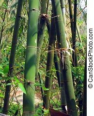 Green Bamboo Trees - -- in an Asian forest