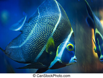 Tropical Fish - A tropical fish in a tank looking at his own...