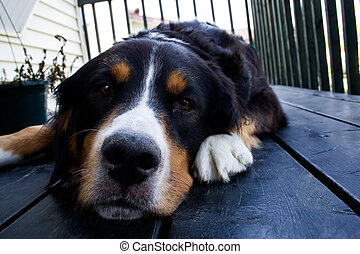 A bernese mountain dog relaxing on the floor