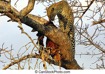 Lunching Leopard - Leopard eating a kill of impala in a...