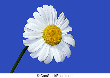 Summer Daisy - Oxe eye daisy on a blue sky day.