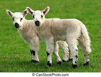 Twin Lambs - Two white, new born lambs standing side by side...