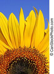 Sunflower and Blue Sky - A section of a sunflower against...