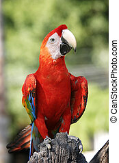 Scarlet Macaw - A cheeky parrot looking right at the camera.
