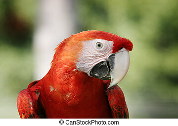 Scarlet Macaw - A cheeky parrot looking right at the camera