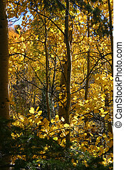 Aspens - Golden aspens in Autumn in the mountains of...