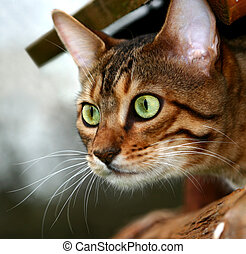 assassino, gato