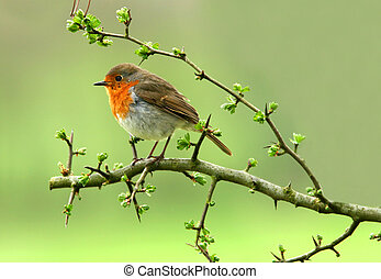 The Robin - Robin sitting on a branch of a hawthorn tree in...