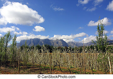 Vines and Mountains - Vines Mountains of Stellenbosch, South...