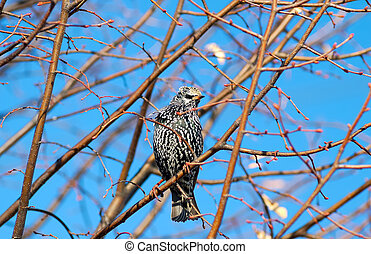 Starling - Photo of a Starling