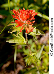 Wildflower: Indian Paintbrush - Photo of an Indian...