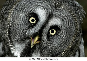 Grey Owl - Great grey owl face