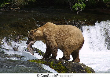 Brown Bear with Fish - Brown Bear with Salmon - Katmai...