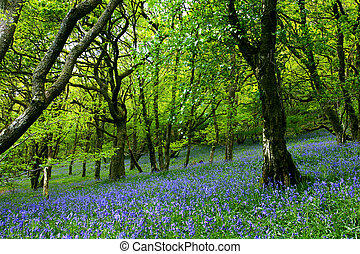 Bluebell Fairyland - Ancient bluebell forest in the Cambrian...