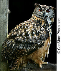 The Eagle Owl - Bengali eagle owl standing on an old wooden...