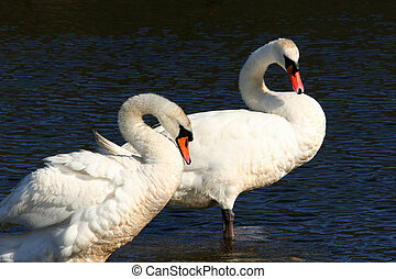 Swans, Forever Together, - A male and female pair of swans,...