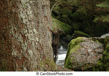 Black Squirrel - Squirrel in the forest beneath the...